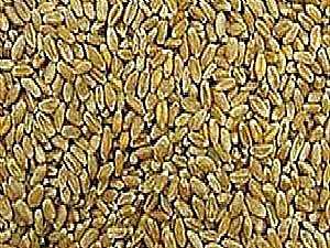 التموين:استلام أكثر من 70% من القمح المحلي وباب التوريد مفتوح خلال الإجازات